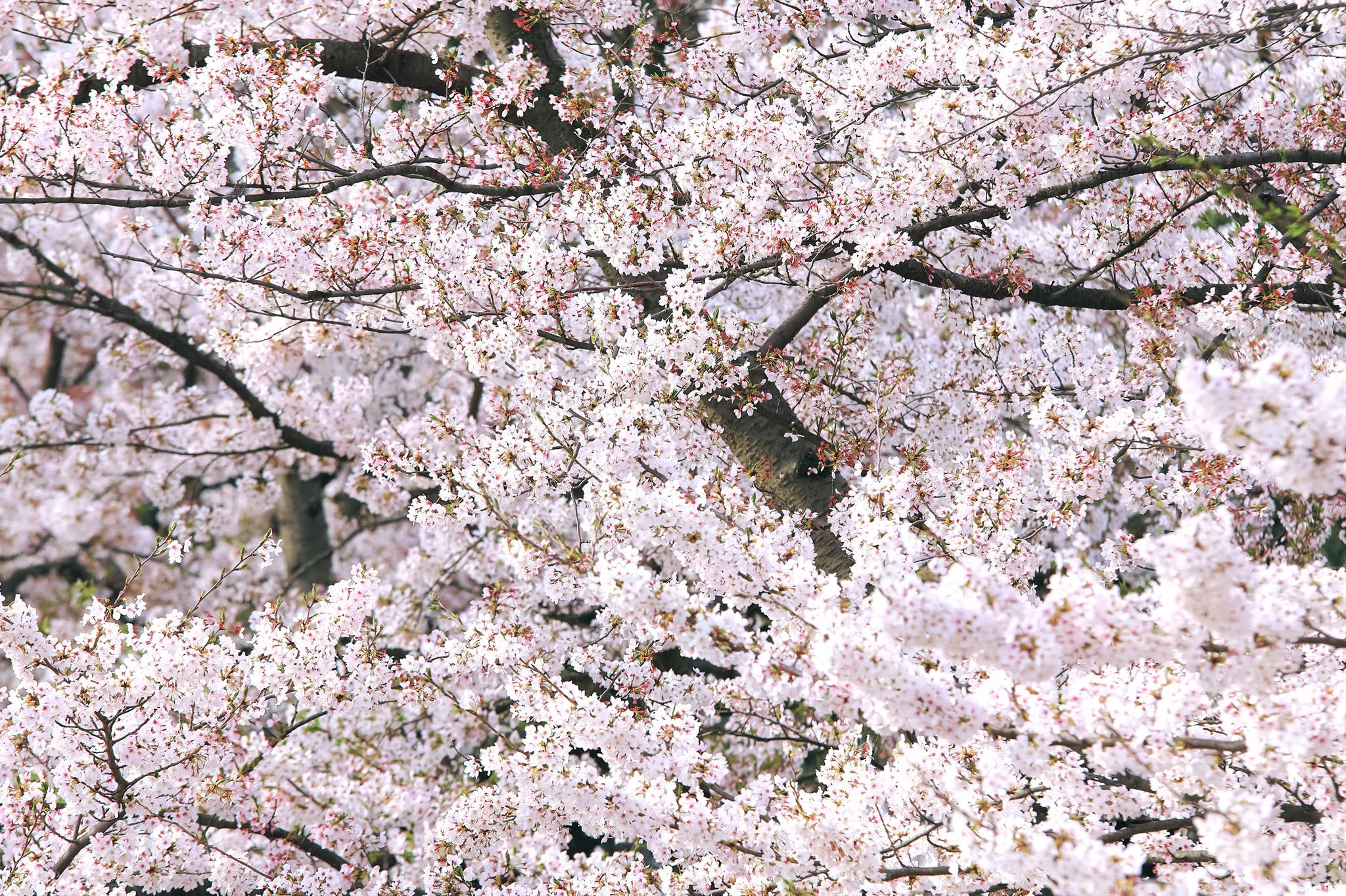 「無数の花と蕾をつける桜の枝」