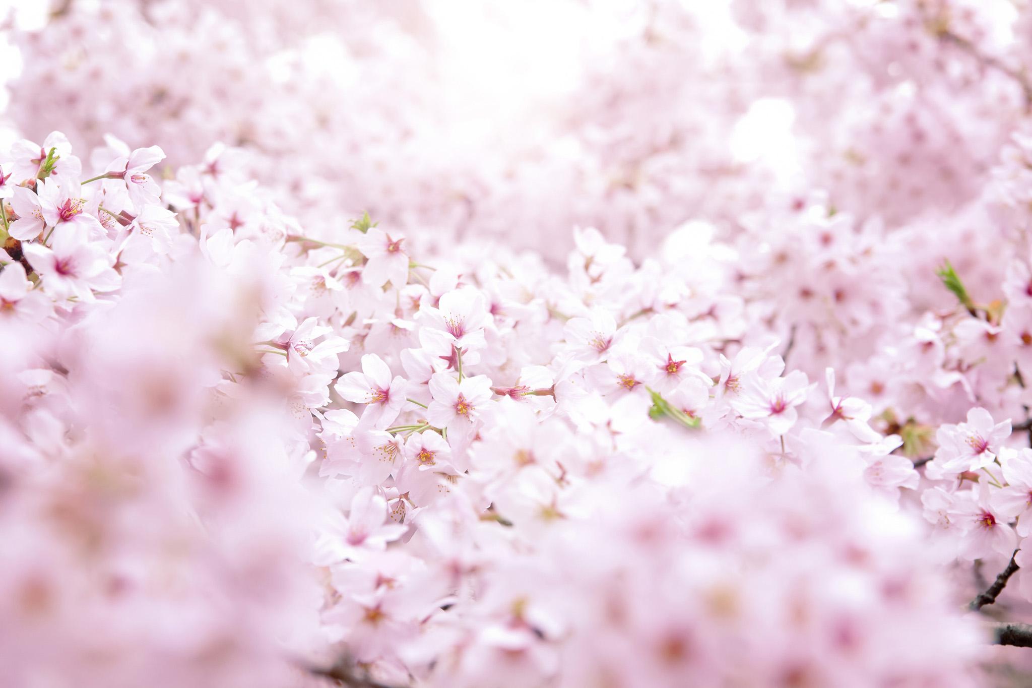 「一面に咲く満開のサクラ」の素材を無料ダウンロード