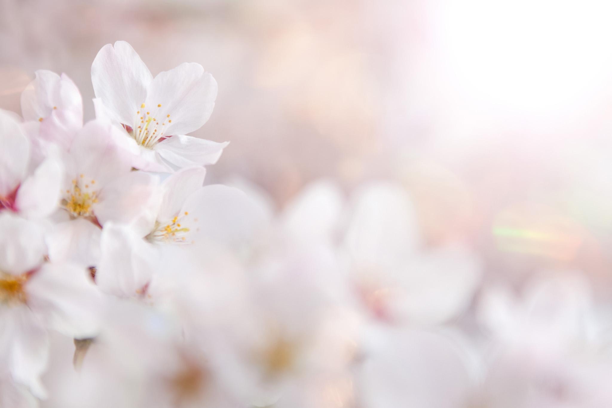 「桜の花びらを照らす春の太陽」