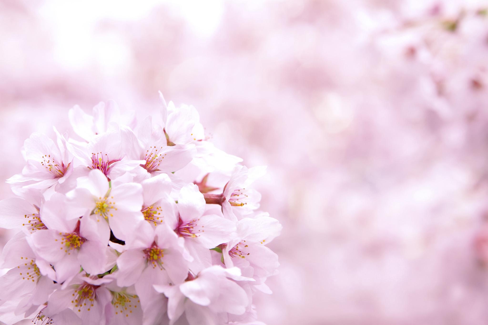 「ピンクの桜の花の背景」