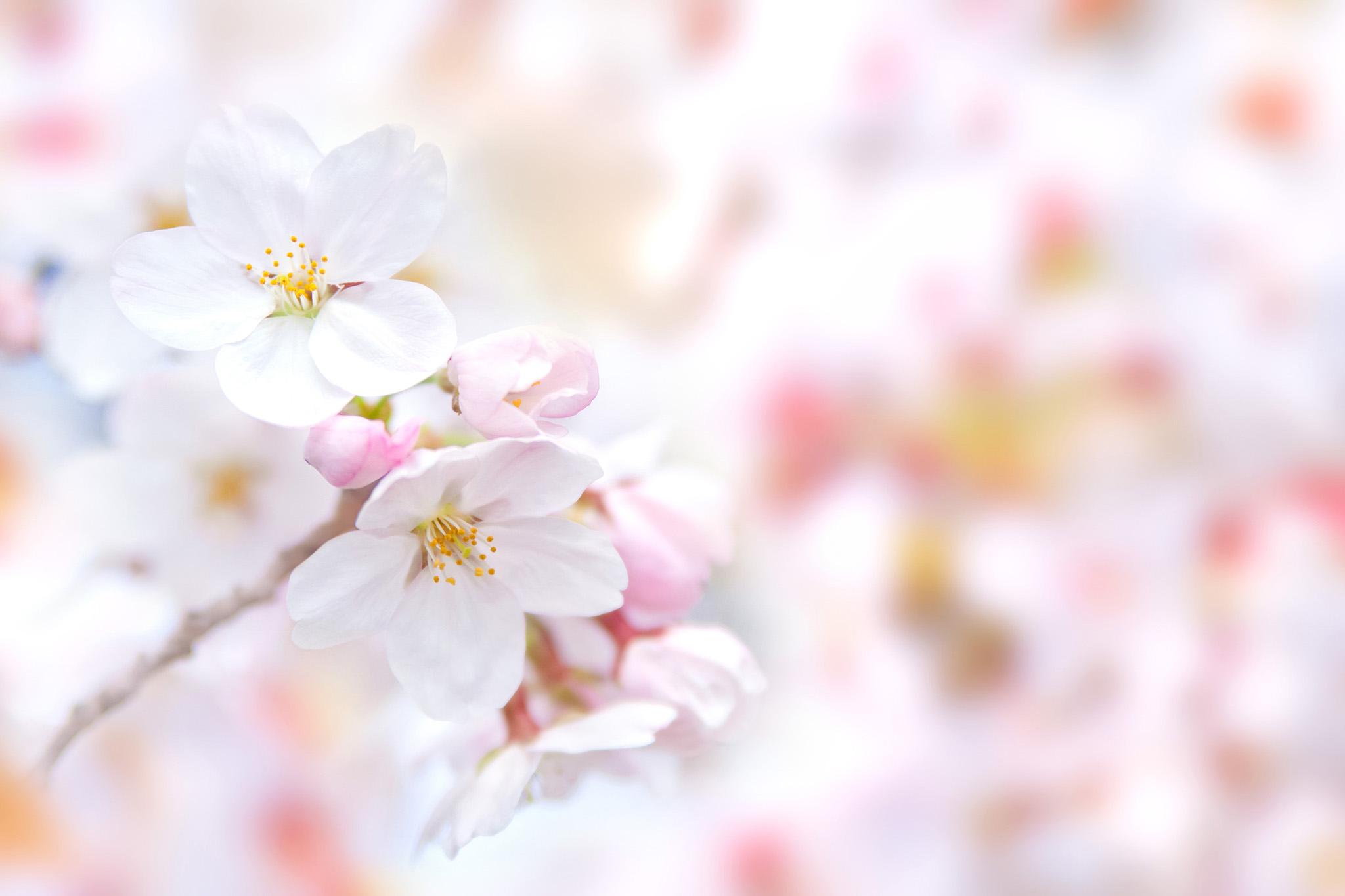 「白い桜の花とピンクのつぼみ」