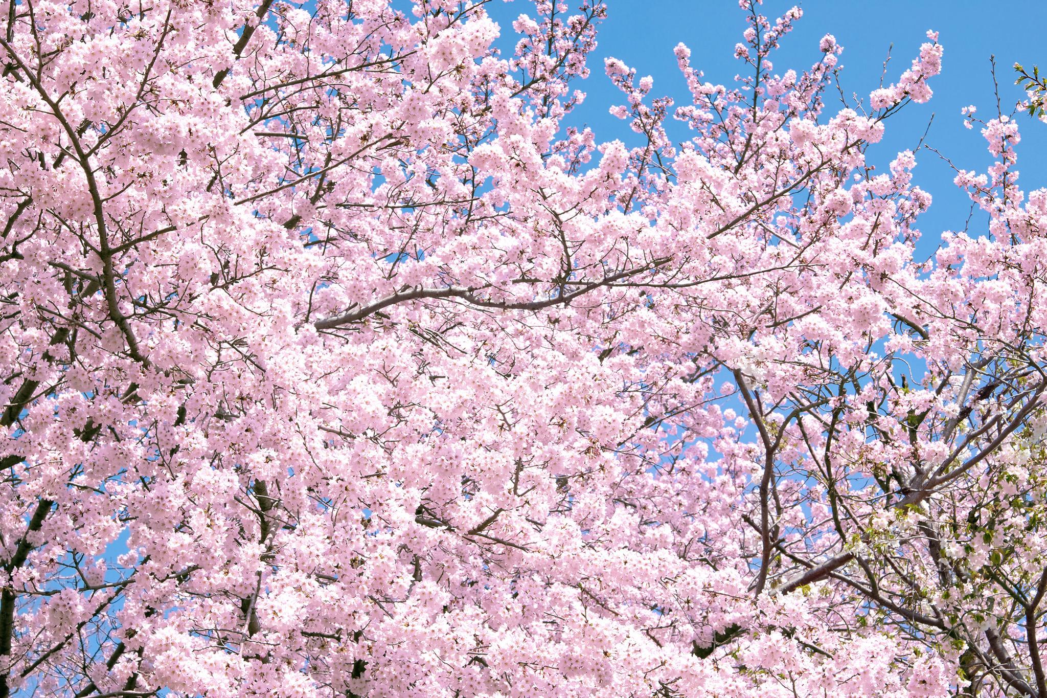 「満開のピンクの桜」