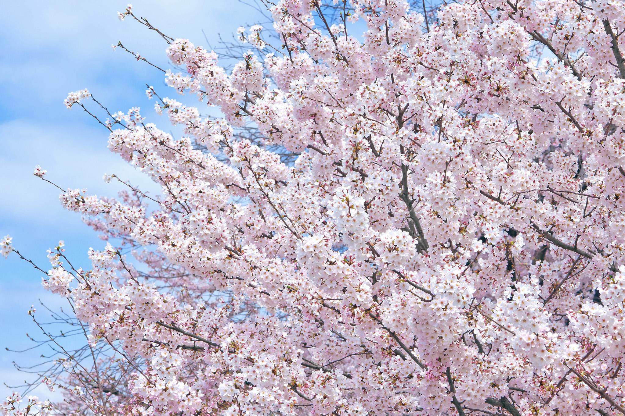 「八分咲きの桜の花」の画像を無料ダウンロード