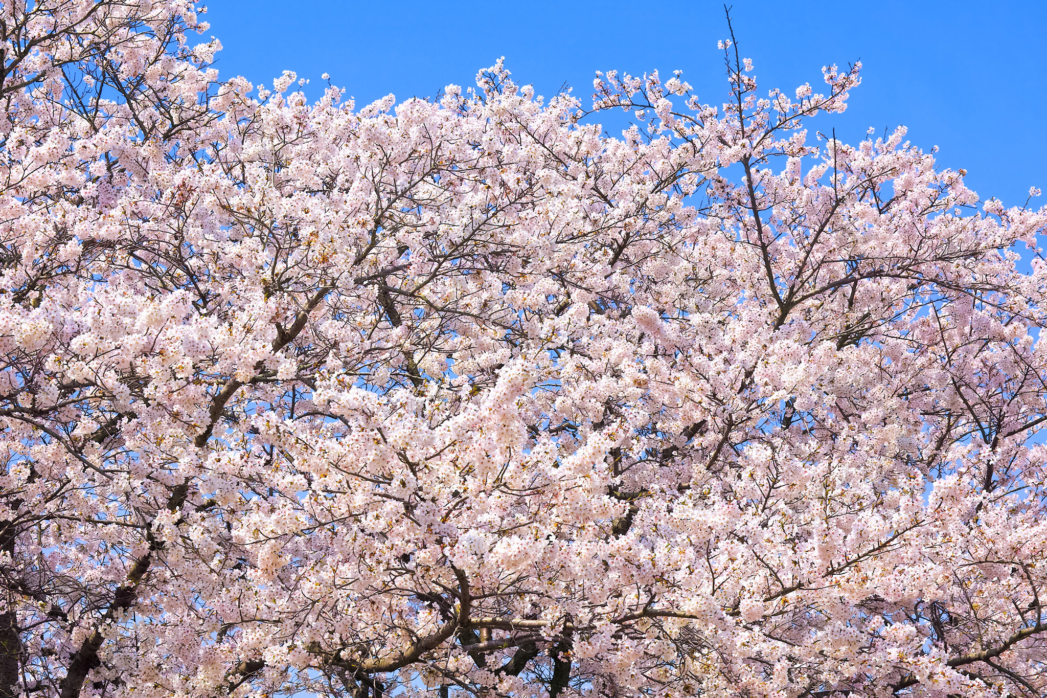 「春の桜の花」