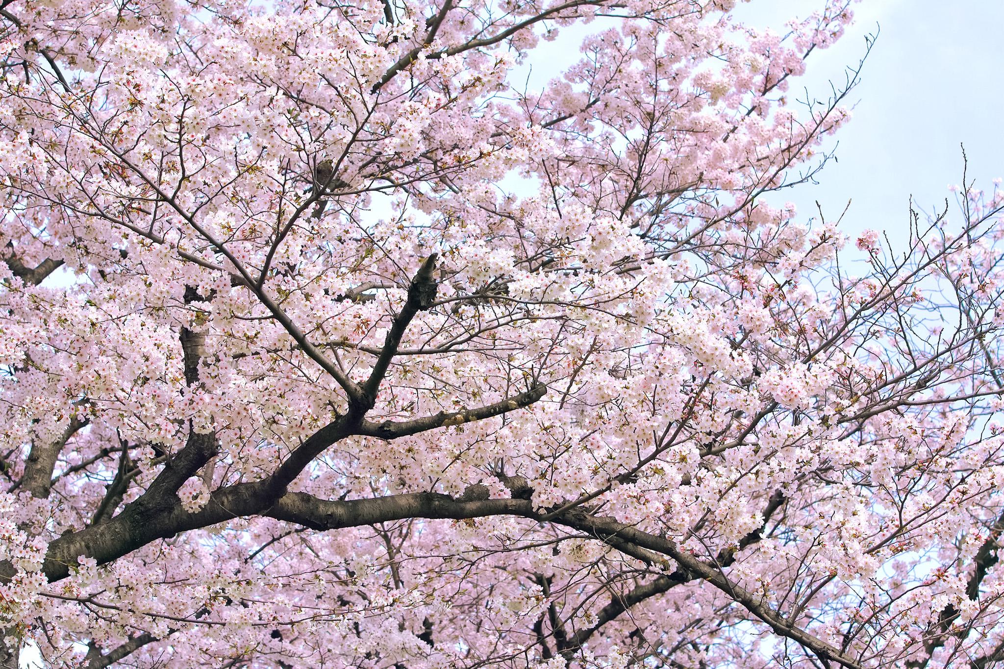 「桜と薄曇りの空」の画像を無料ダウンロード