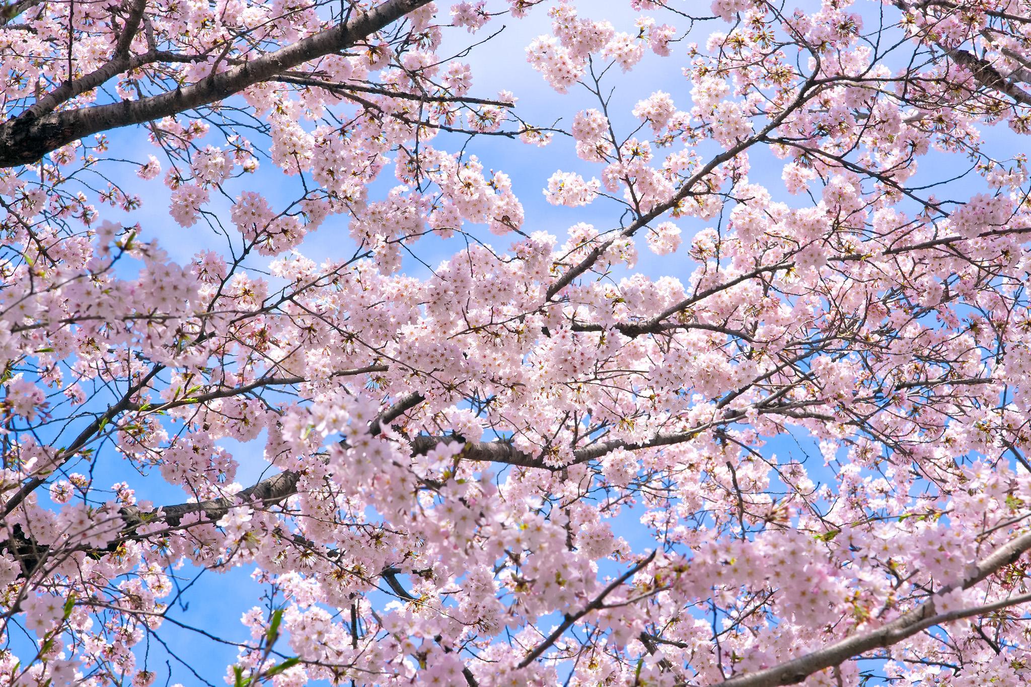 「桜の花咲く背景」の画像を無料ダウンロード