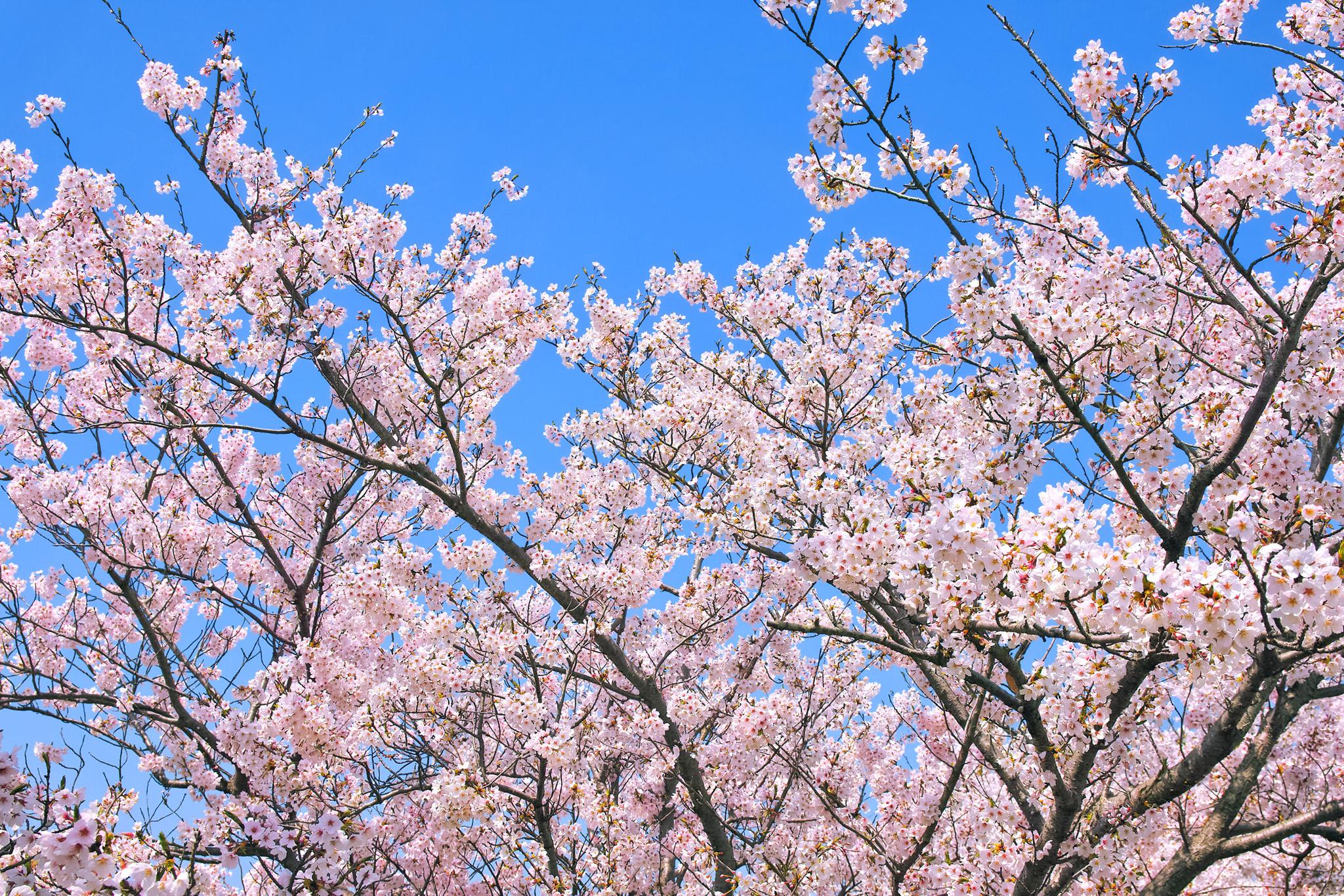 「綺麗な青空と桜」の画像を無料ダウンロード