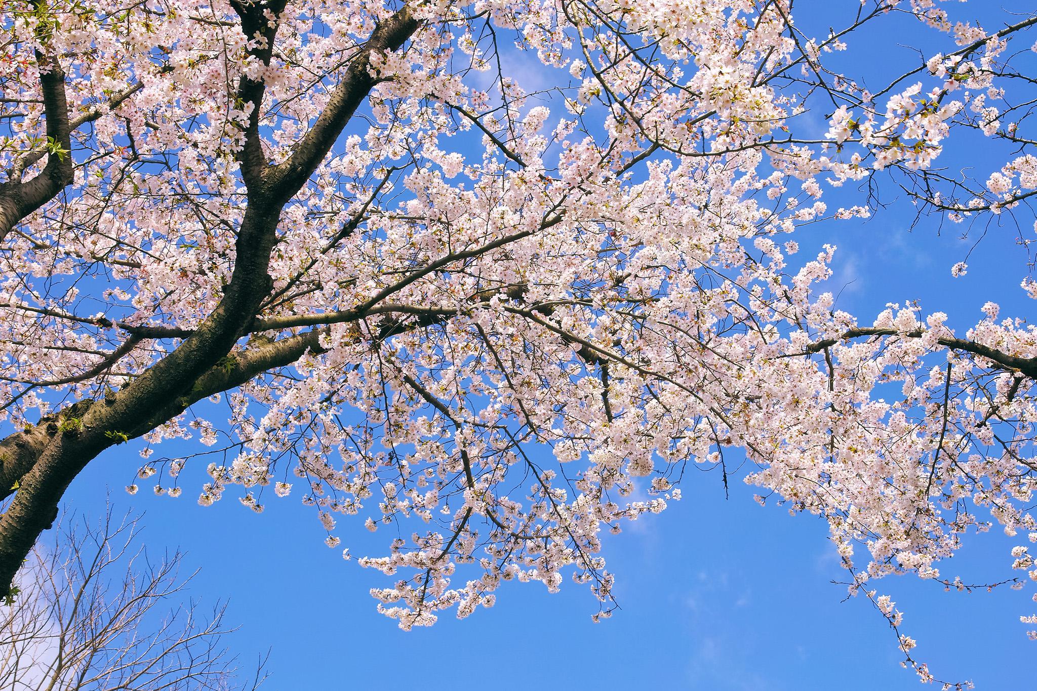 「青空とさくらの木」