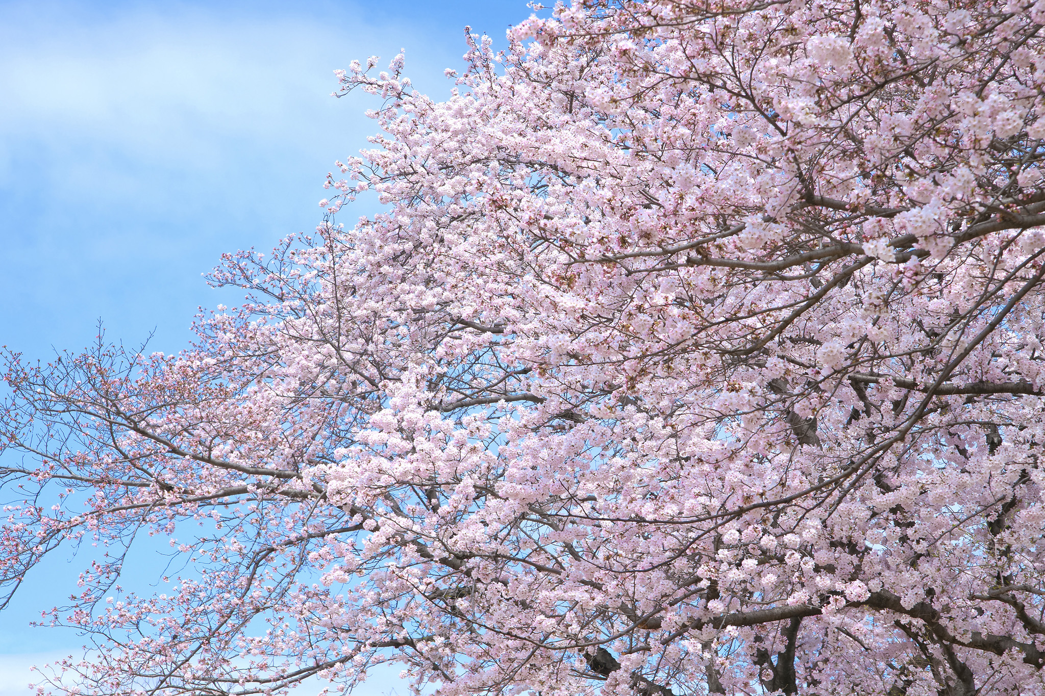 「桜と空と雲」の画像を無料ダウンロード