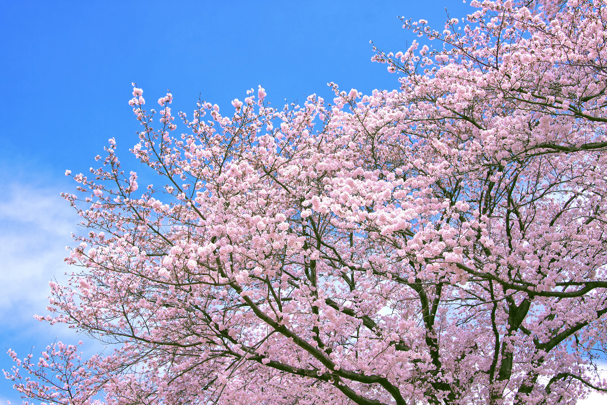 「青空とピンクの桜」