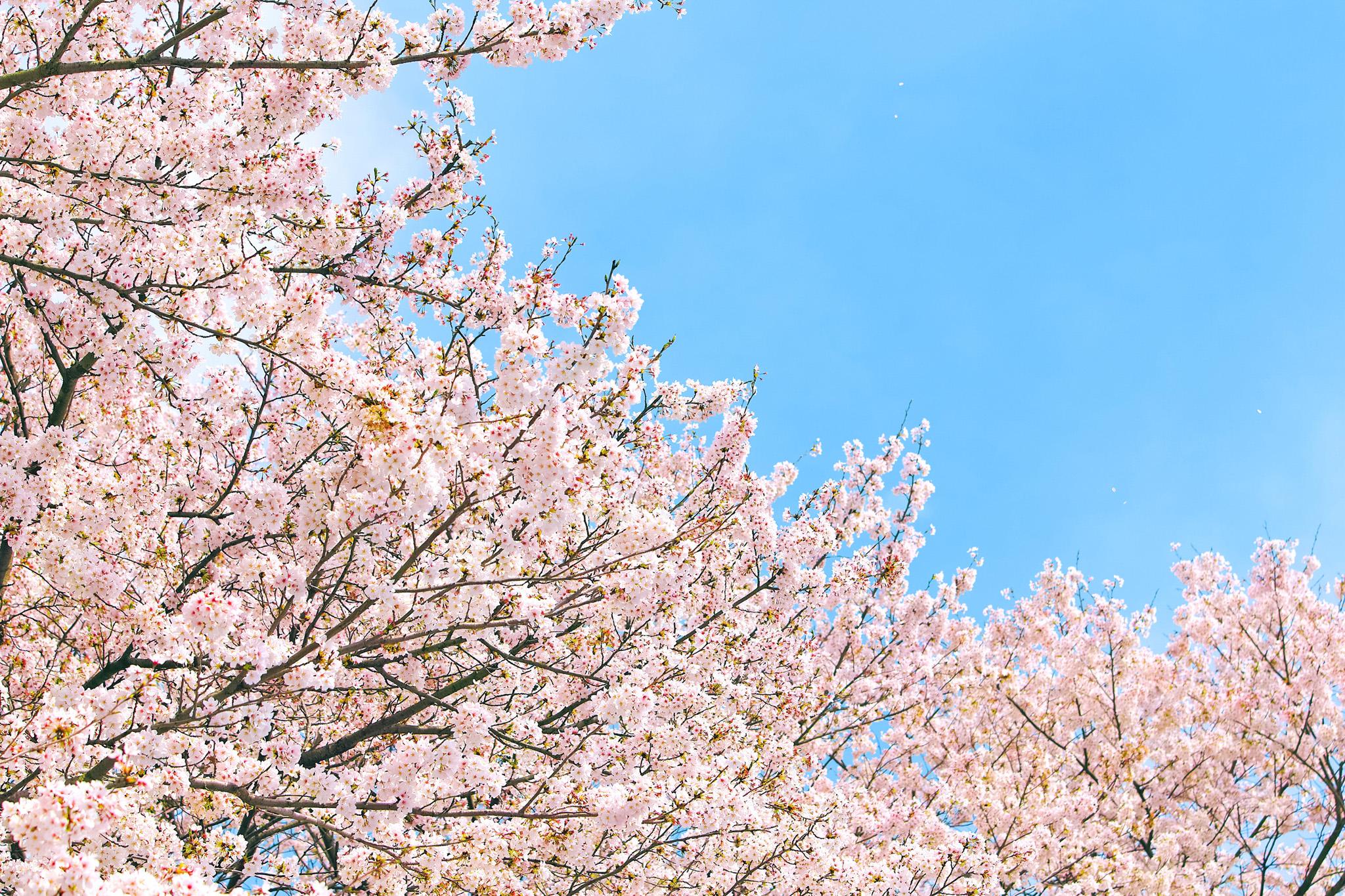 「青空に伸びる桜」の画像を無料ダウンロード