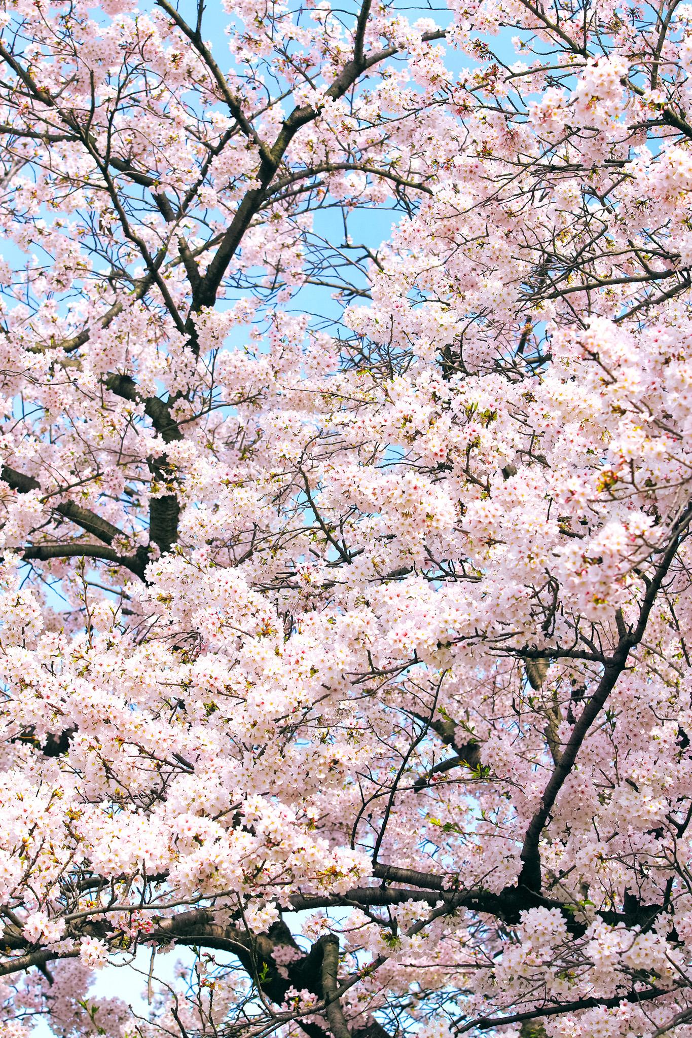 「春の桜」