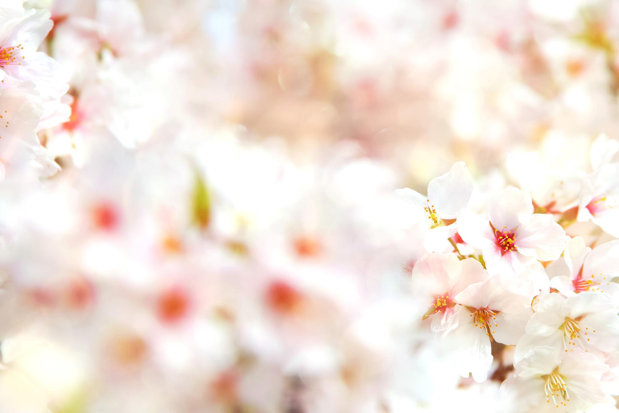 「白い桜の花びら」の背景を無料ダウンロード