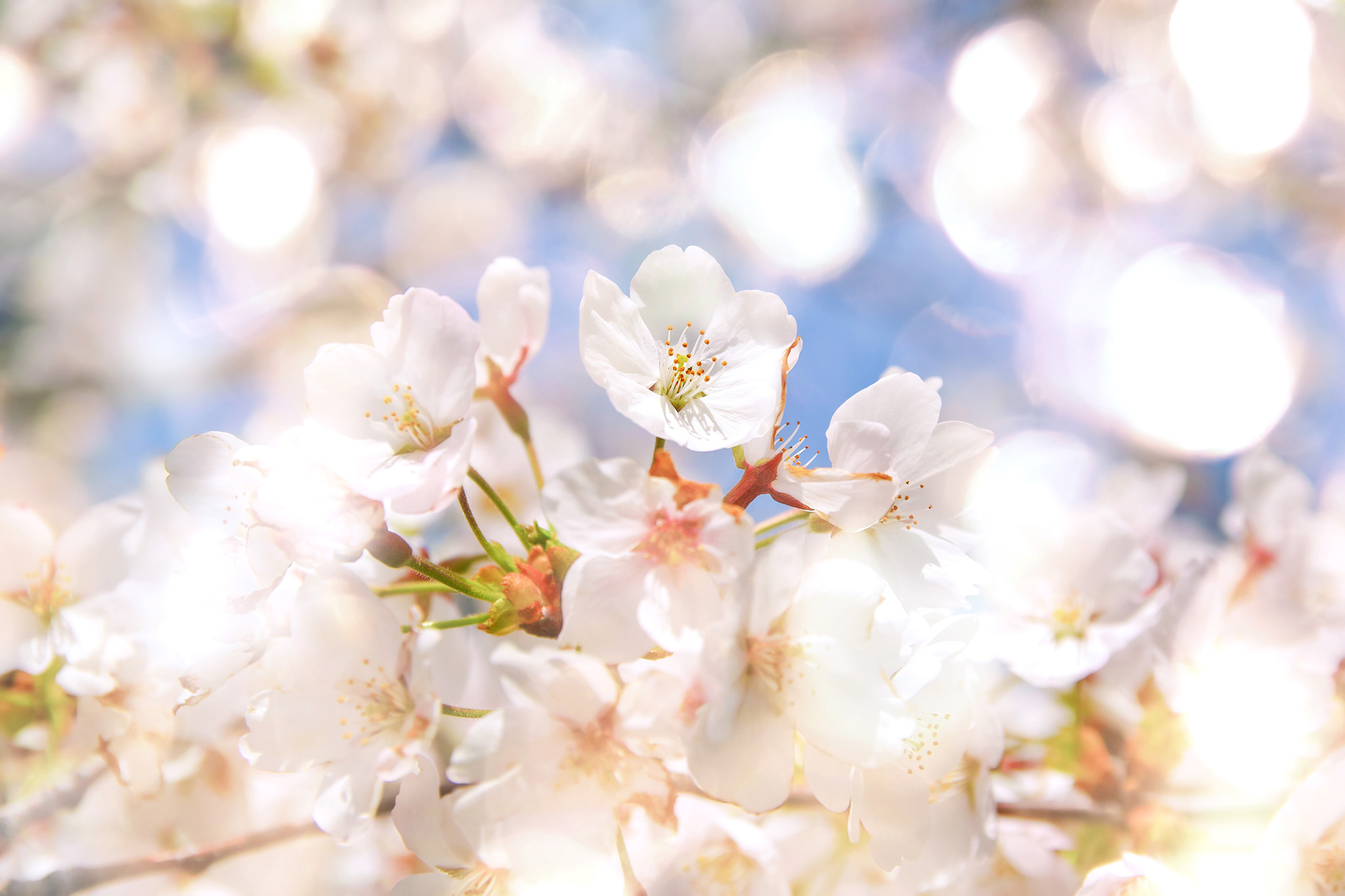 「春の光と桜の花」の背景を無料ダウンロード
