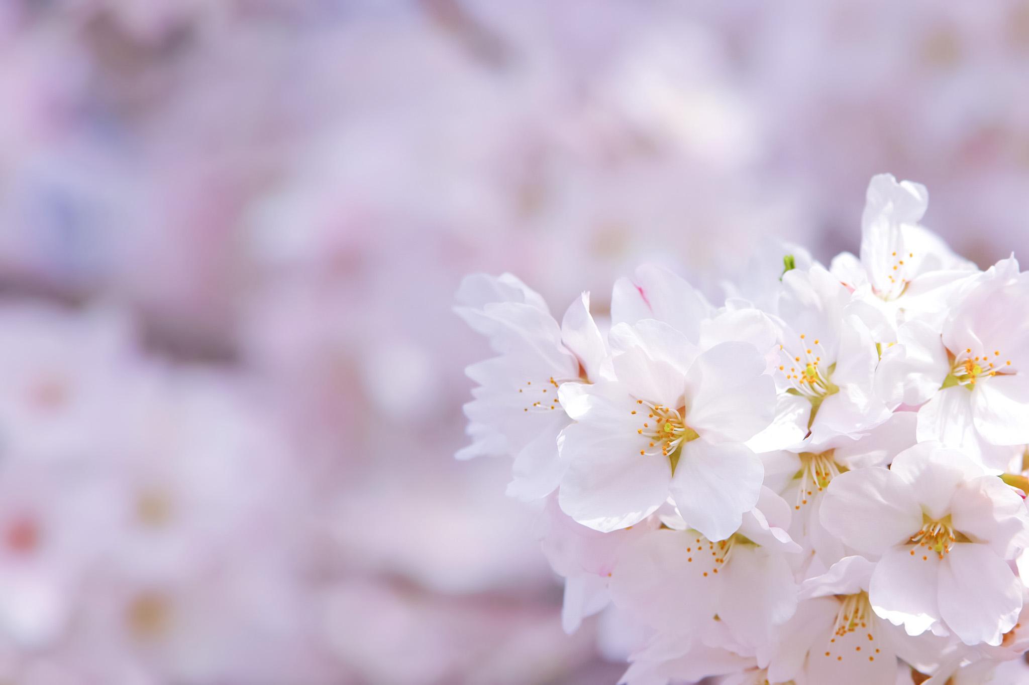 「薄紅色の桜の花びら」の背景を無料ダウンロード