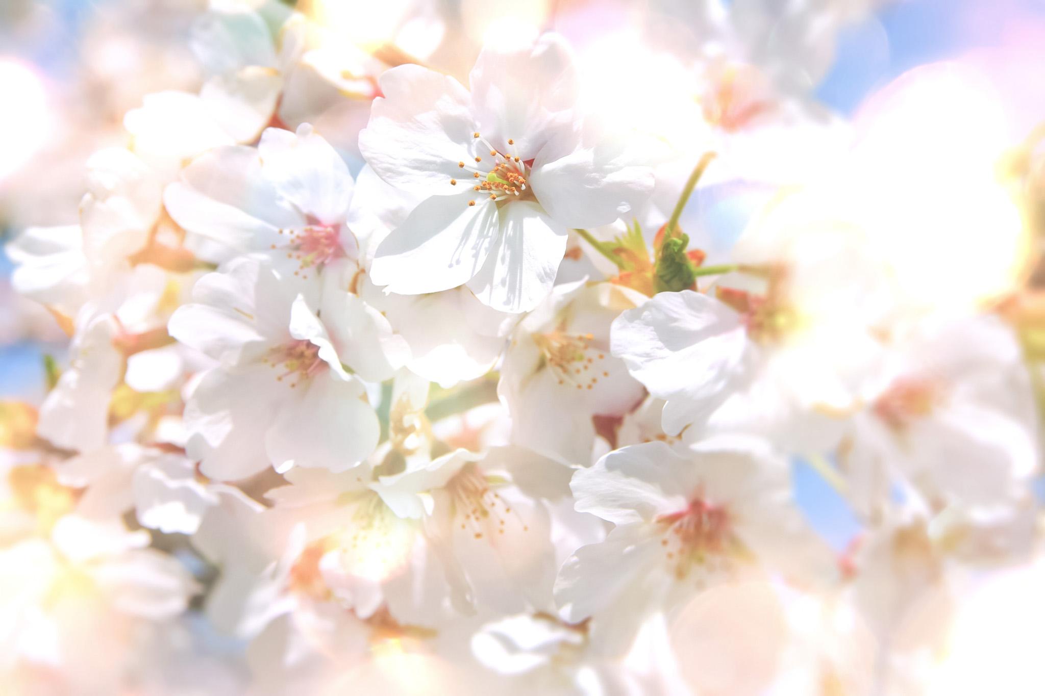 「キラキラの光と桜」の背景を無料ダウンロード