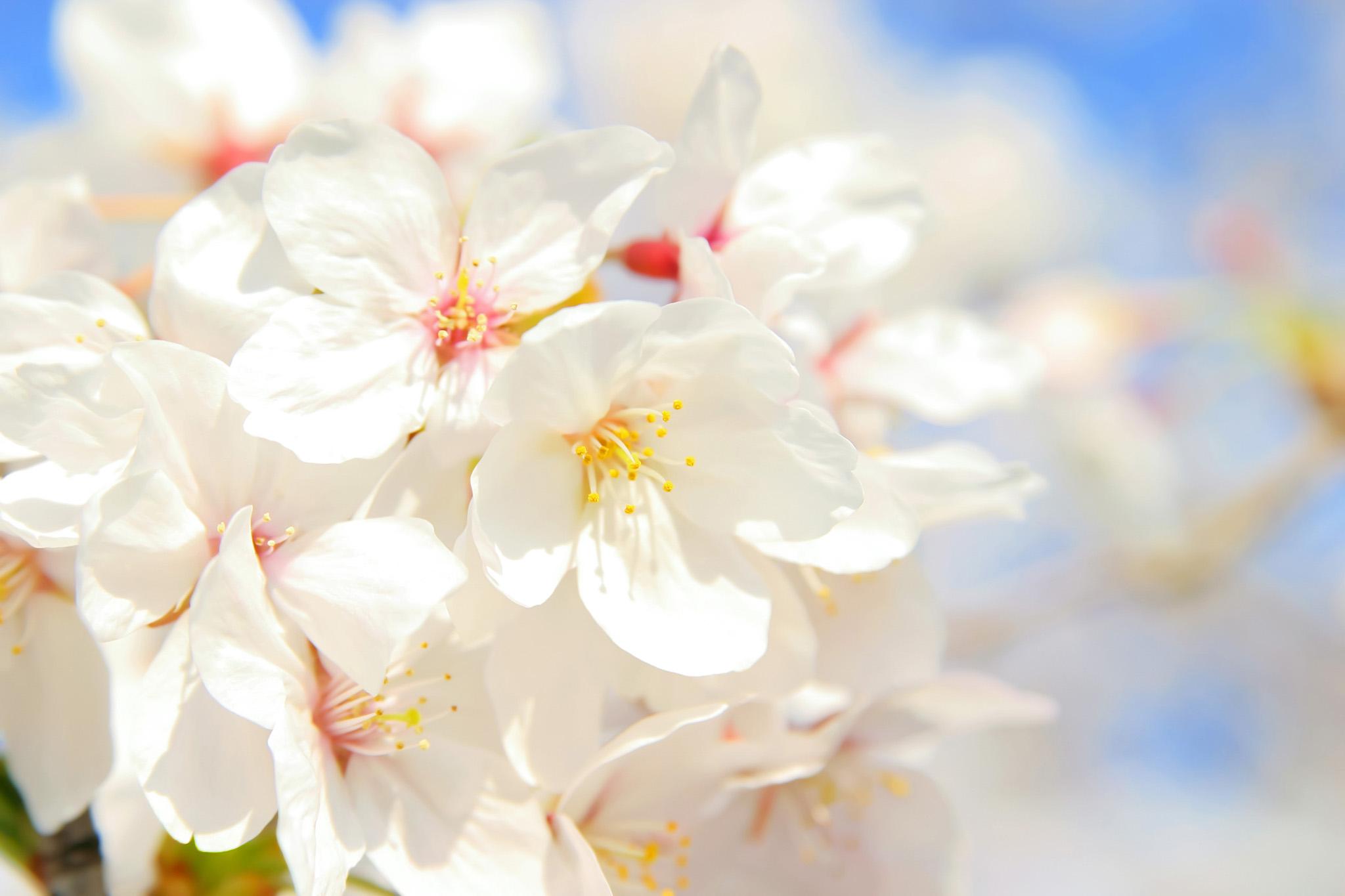 「空と白い桜の花びら」の背景を無料ダウンロード