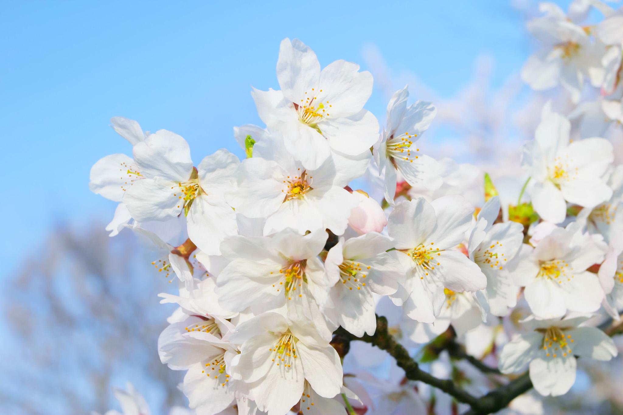 「春の空と白い桜の花」の背景を無料ダウンロード