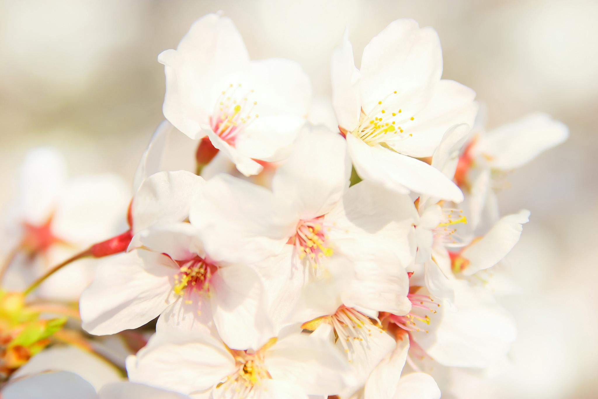「桜の花びら」の背景を無料ダウンロード