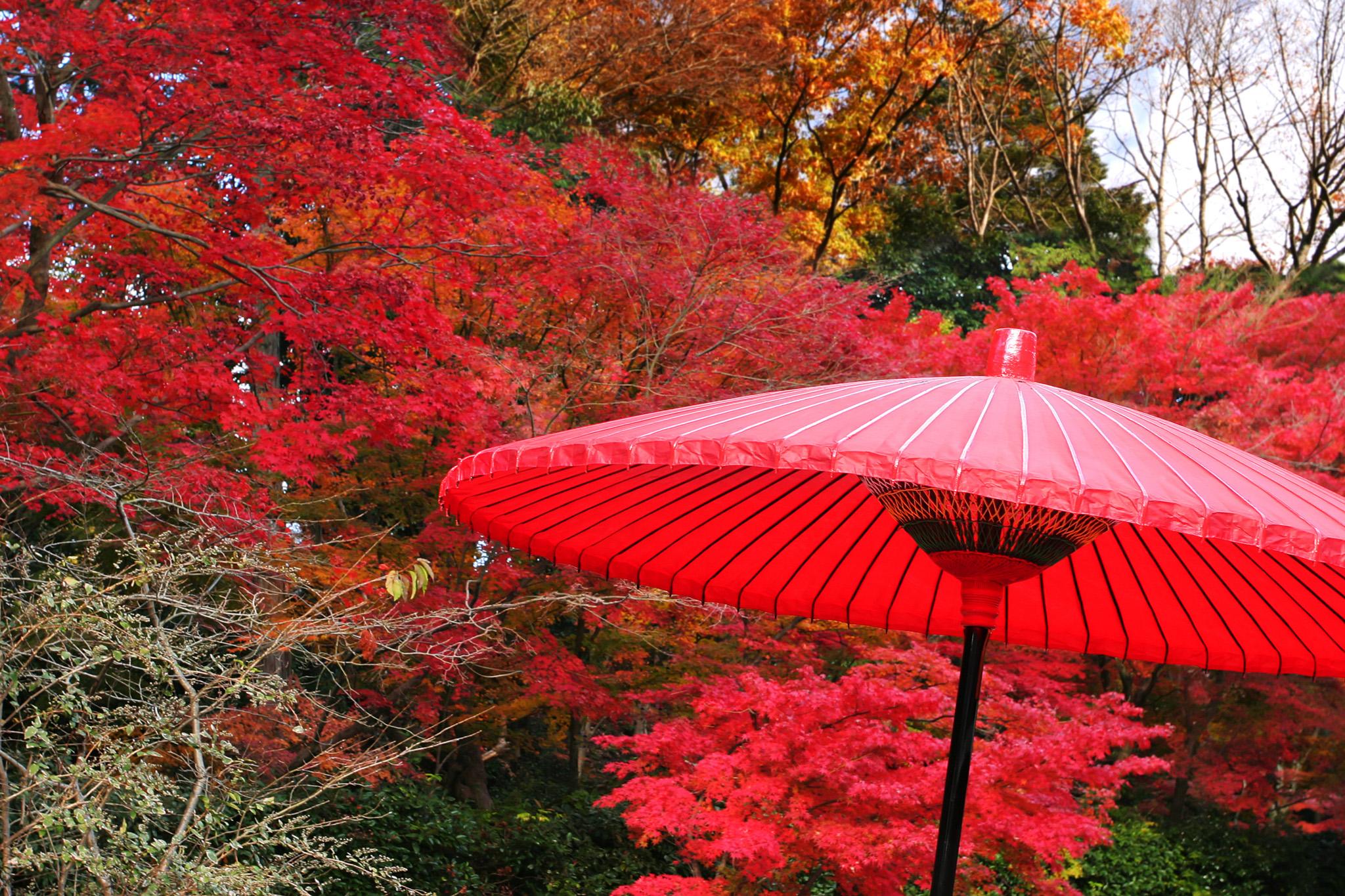 「紅葉と野点傘」