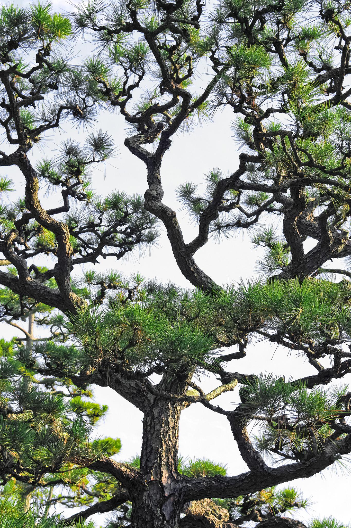 松の和風背景素材