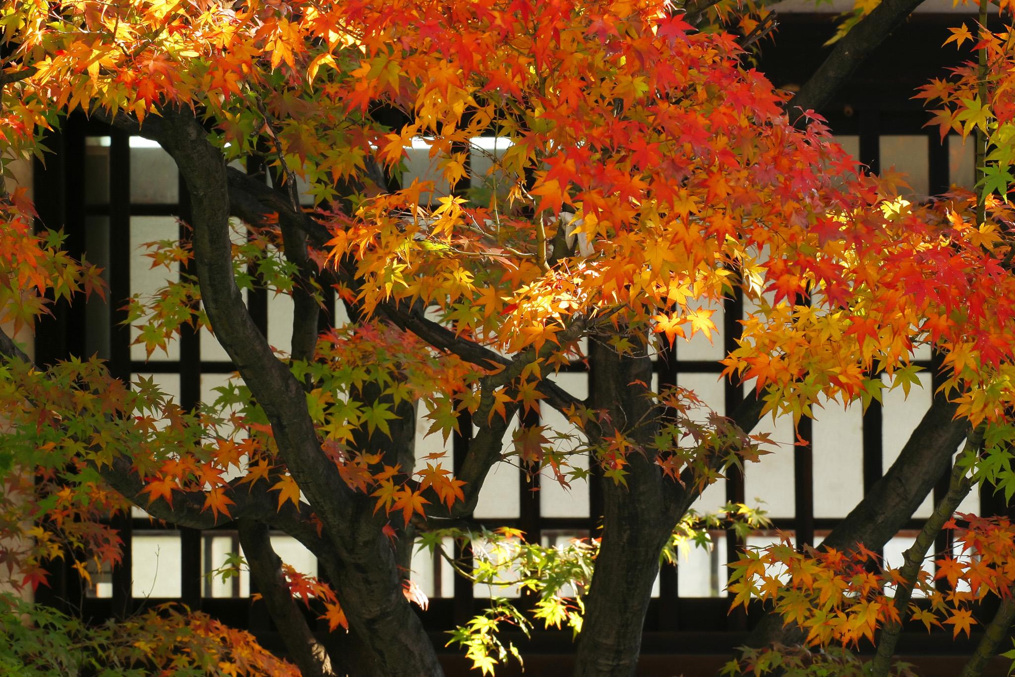 「黄葉と格子窓の和風背景」の素材を無料ダウンロード