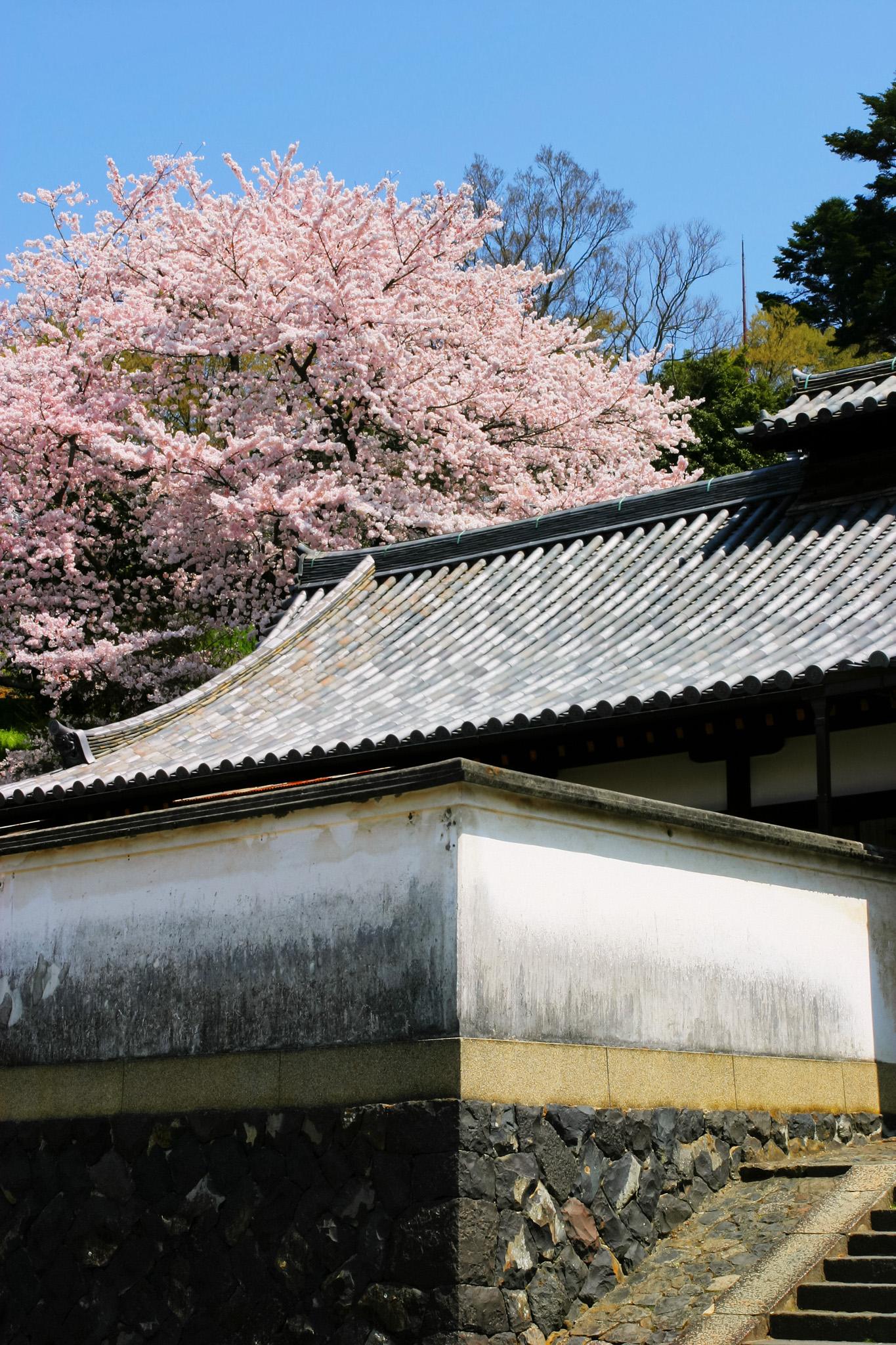 「白壁の古都に咲く桜」の素材を無料ダウンロード