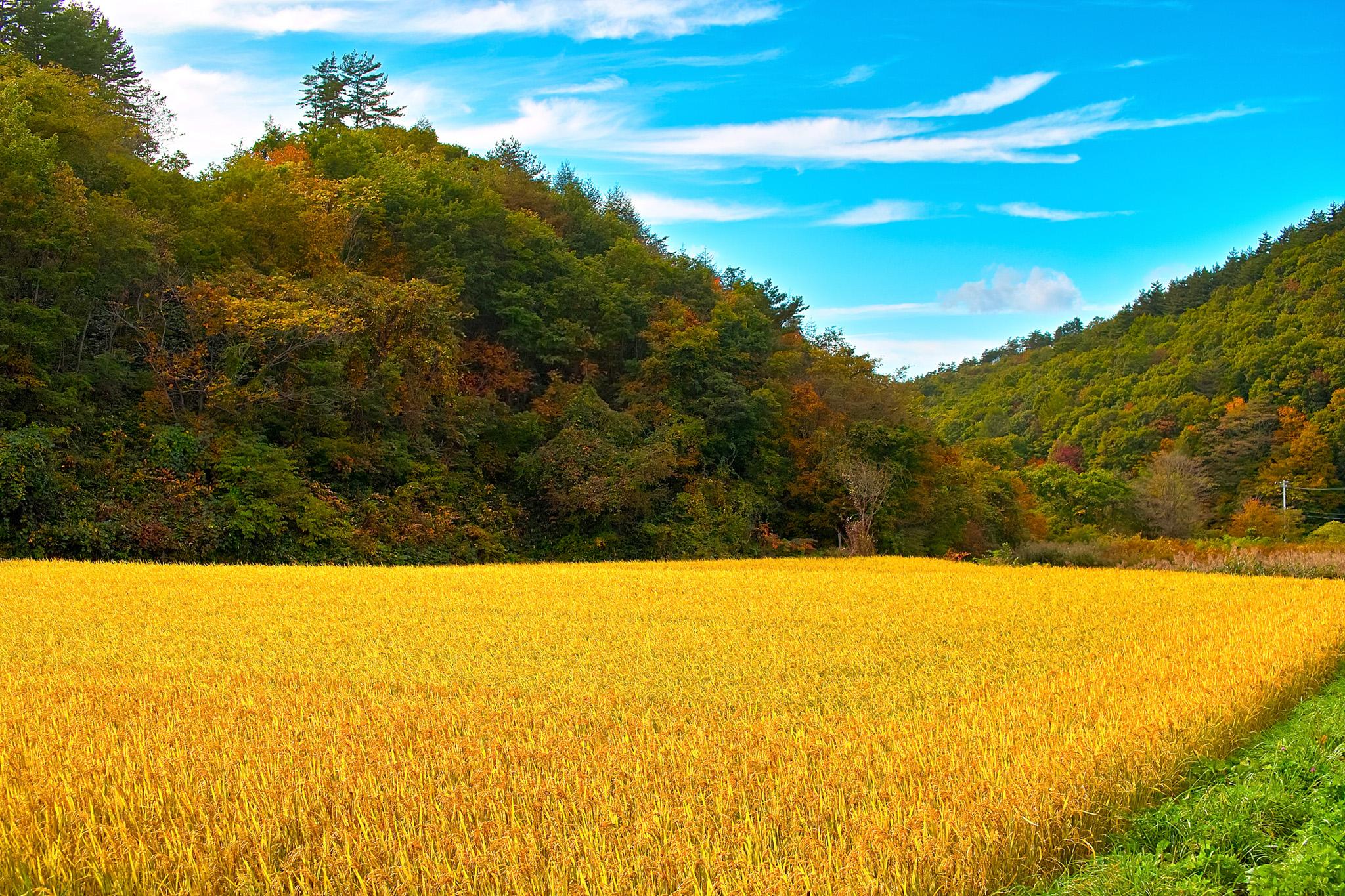 「稲が実る秋の田園」のテクスチャを無料ダウンロード