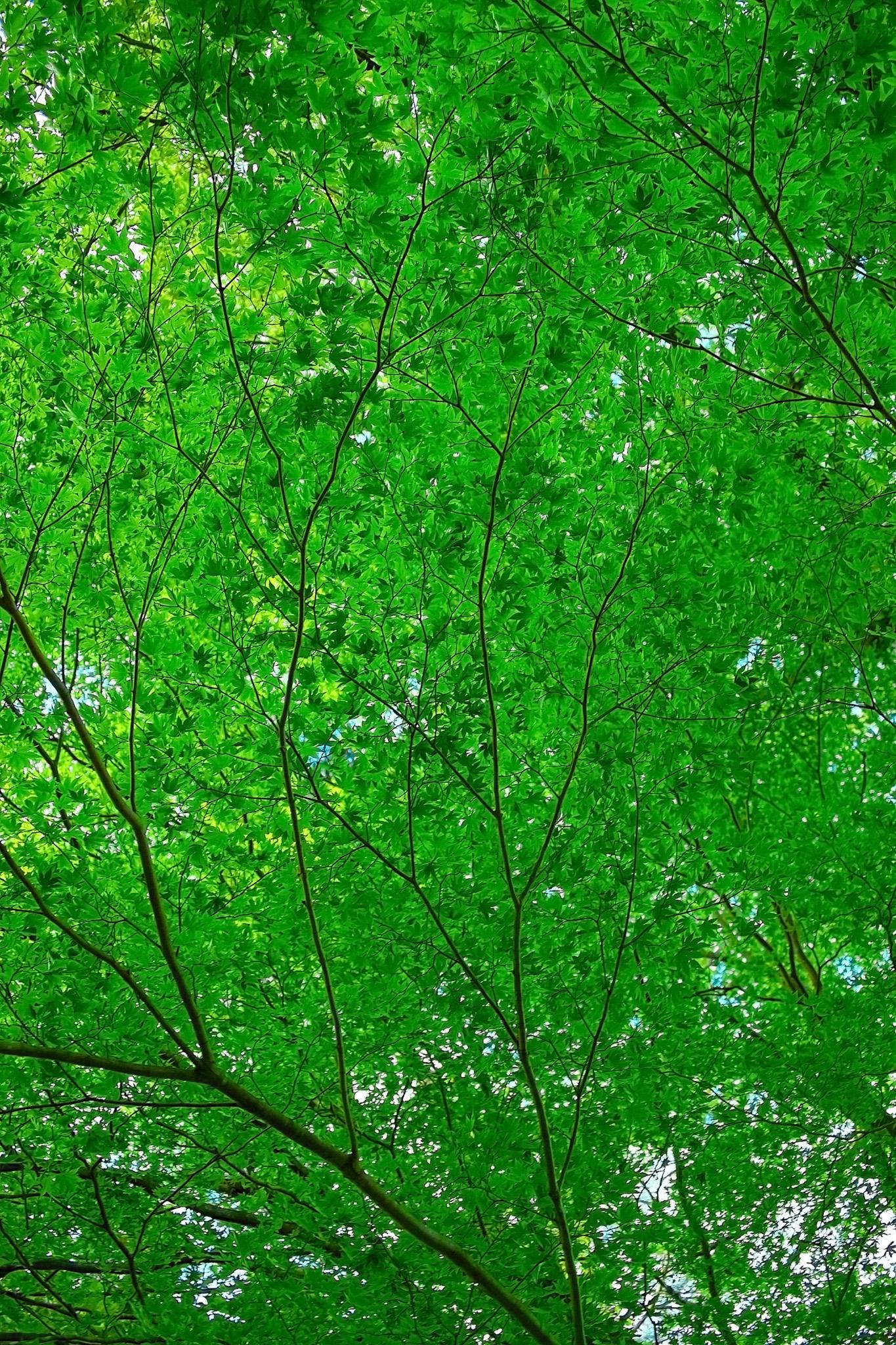 「涼しげな緑のモミジ」