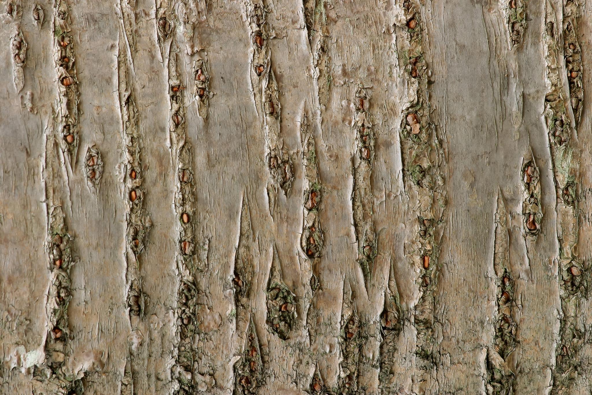 「桜の木の樹皮のテクスチャ」