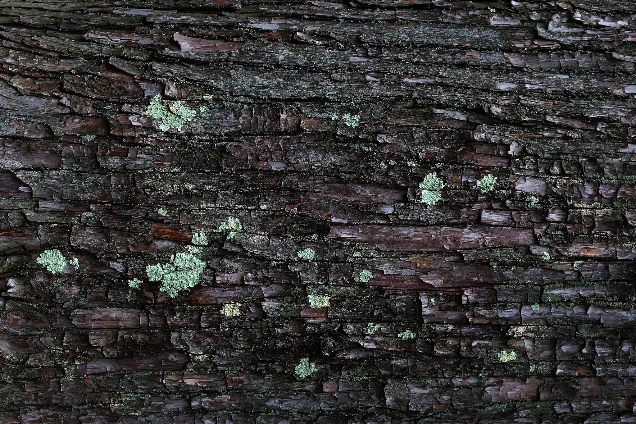「カビの生えた樹皮のテクスチャ」