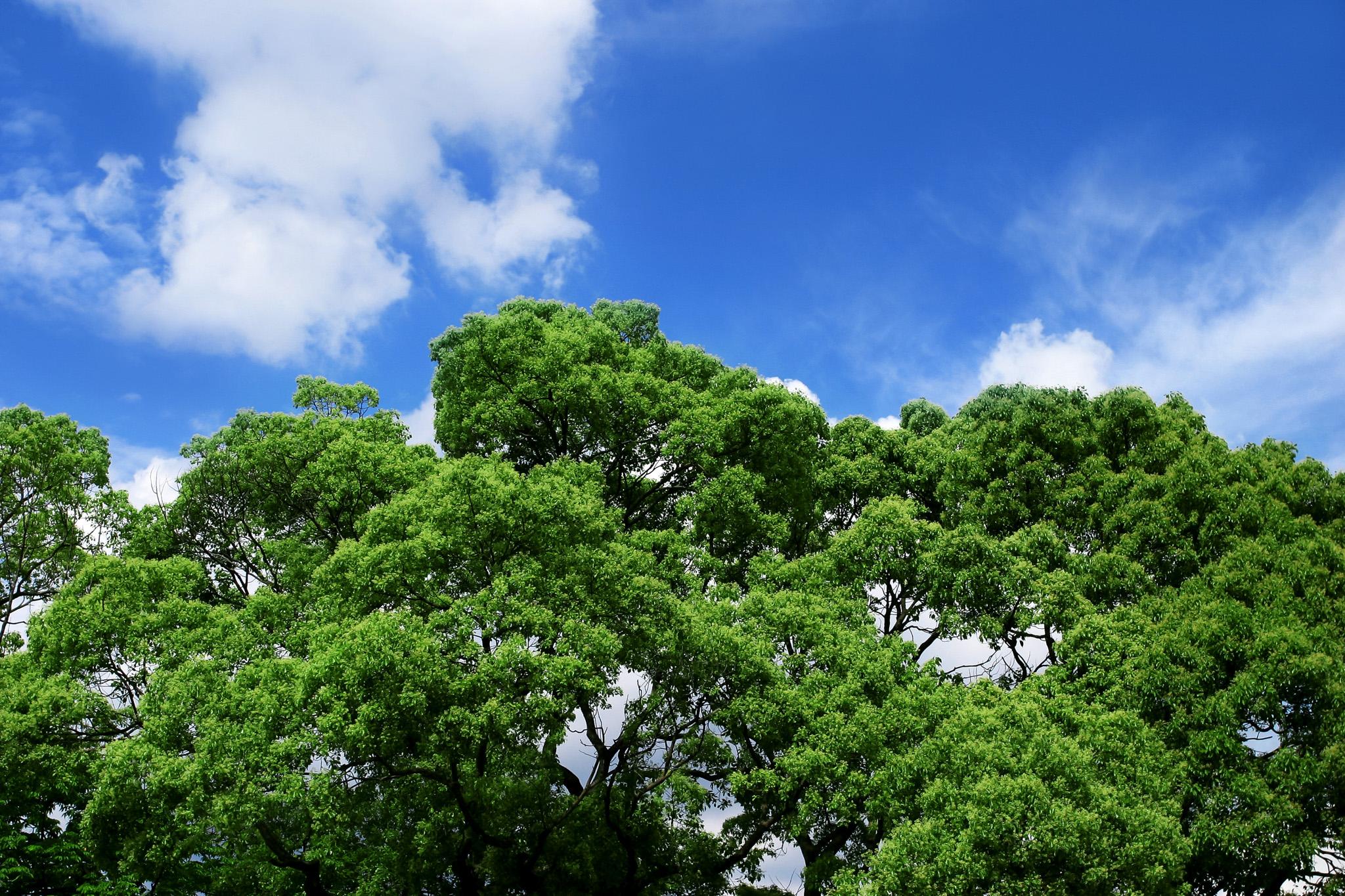 「夏の青空と森の大きな樹」
