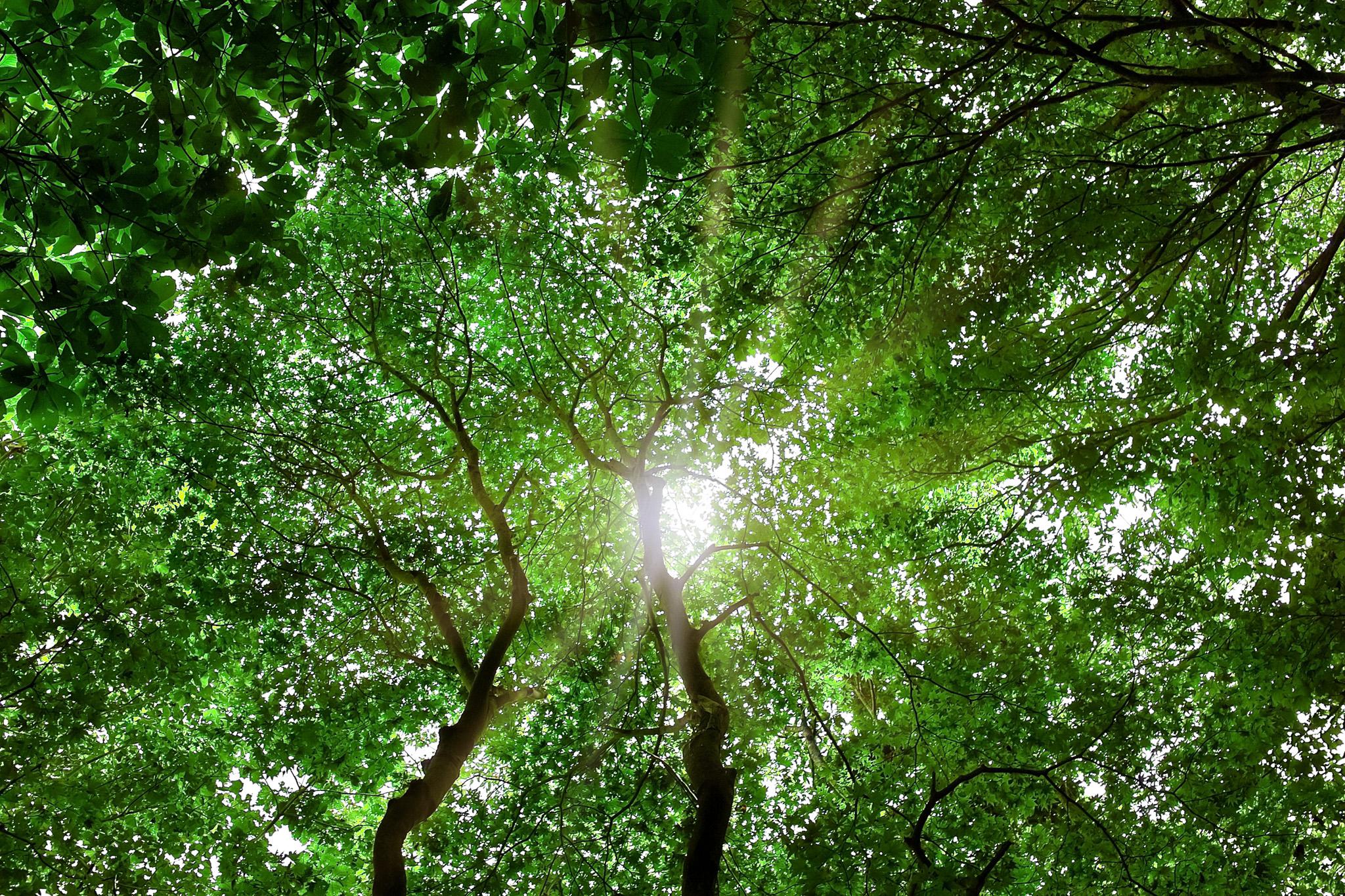 「見上げる木の隙間から浴びる光」の素材を無料ダウンロード