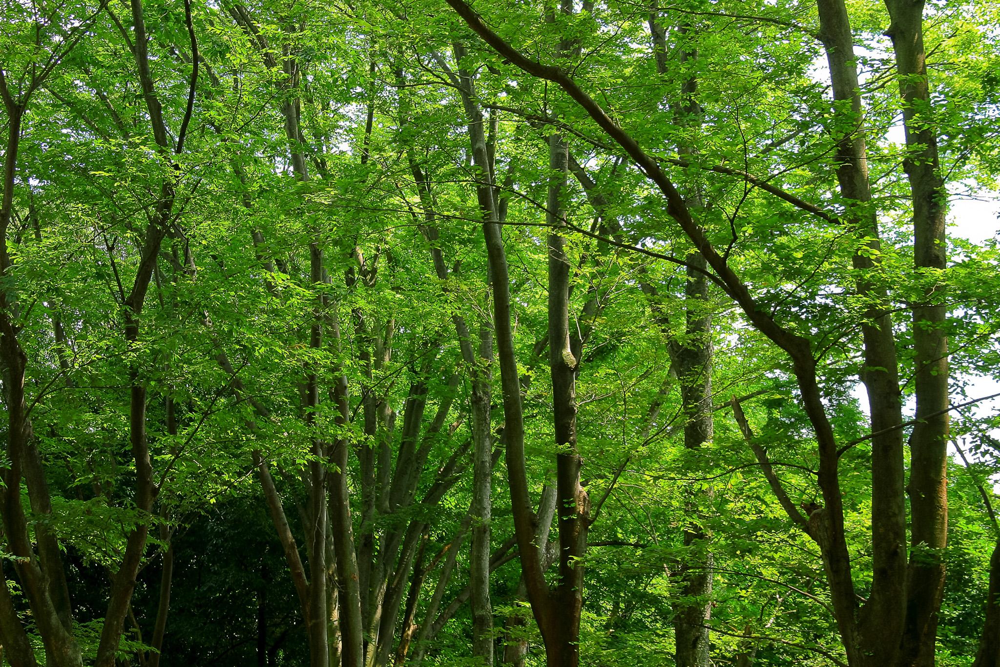 「新緑のトンネルが続く林」の素材を無料ダウンロード