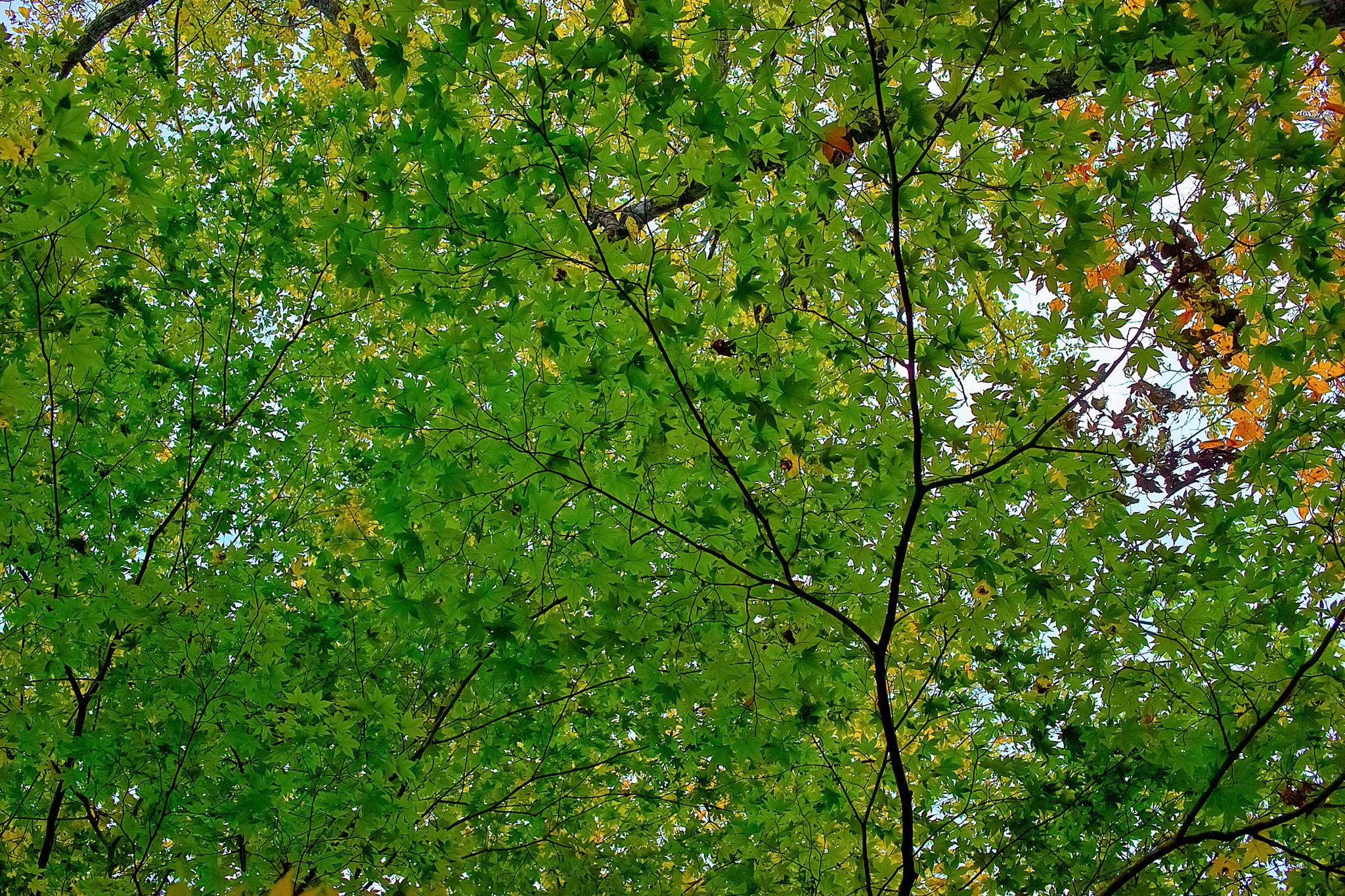 「一面を覆う緑のヤマモミジの葉」