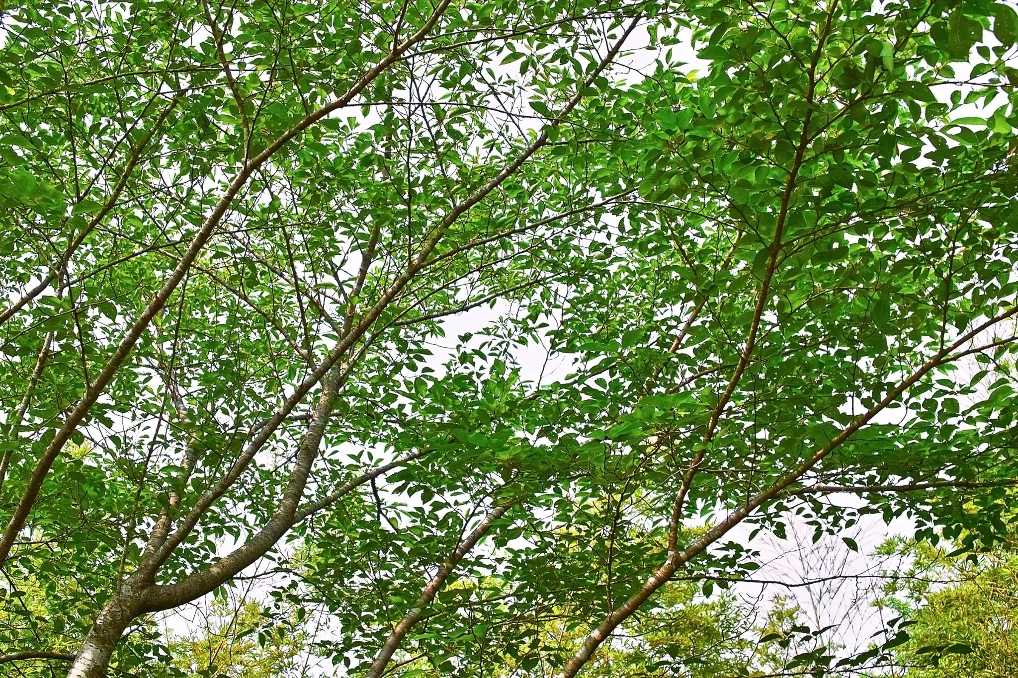 「白い背景の木の枝」の素材を無料ダウンロード