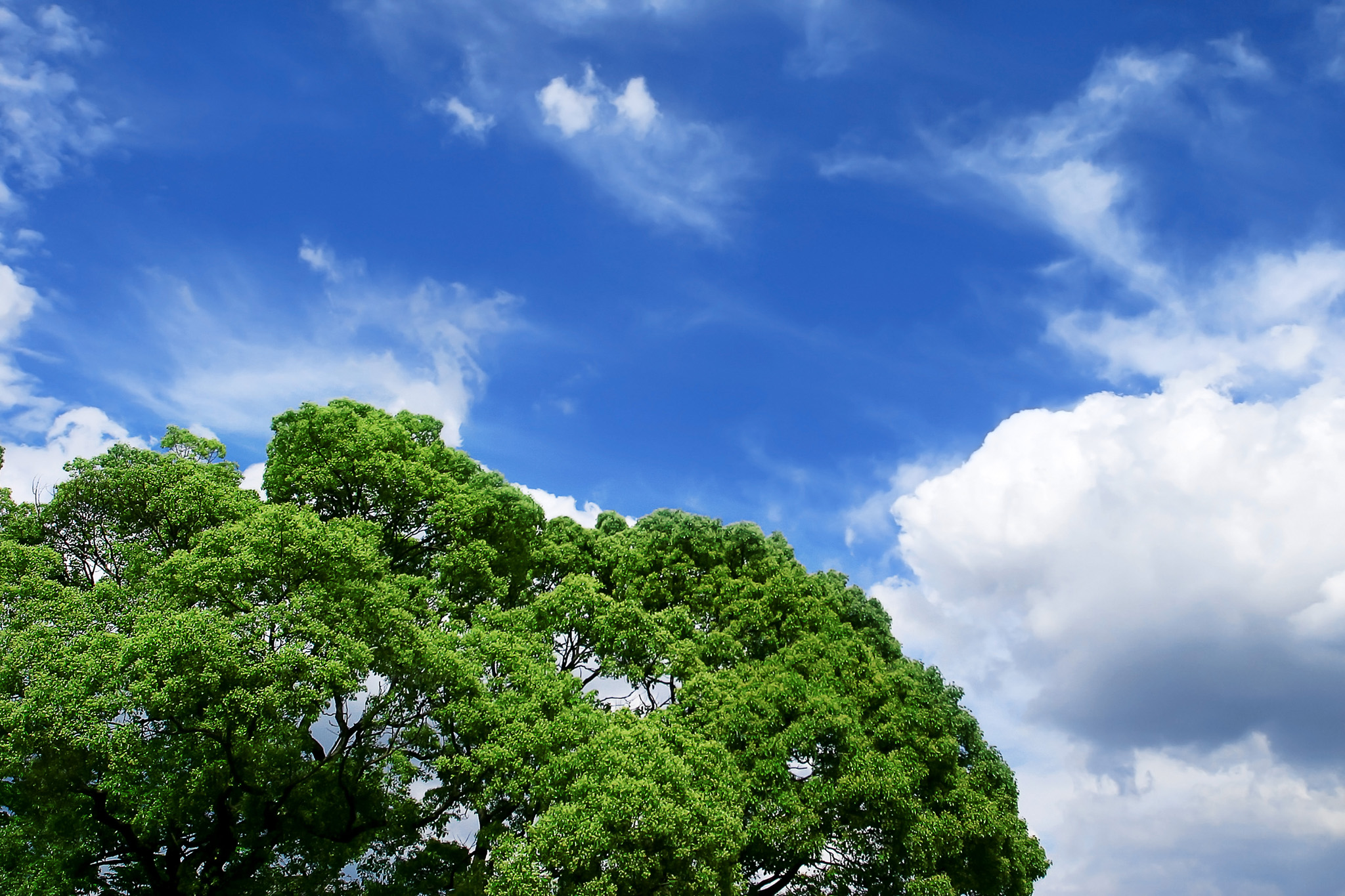 「夏空の下の大きな樹」