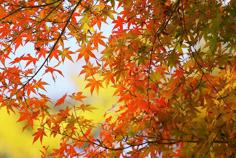 赤く染まり始めるモミジの葉の写真画像