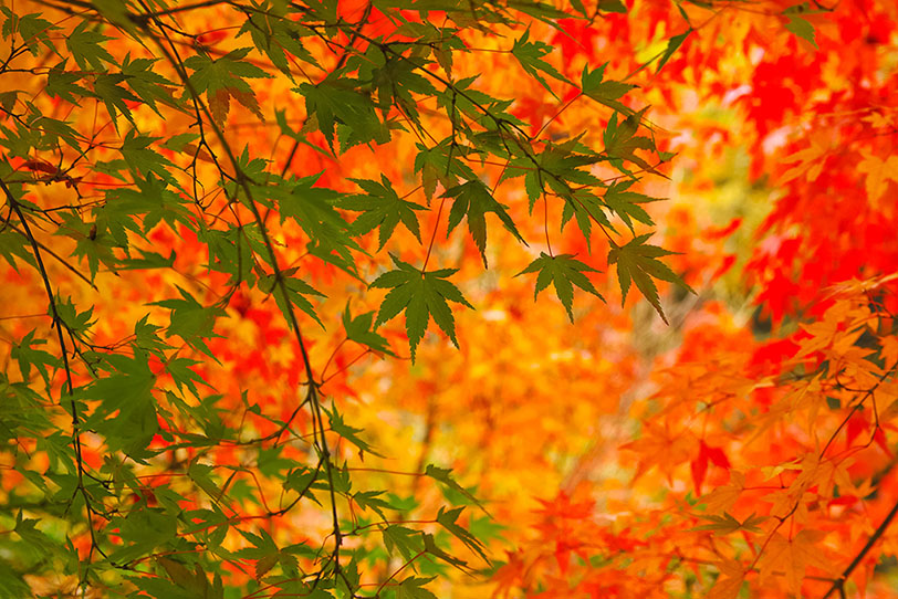 美しい青葉と紅葉の秋背景の写真画像