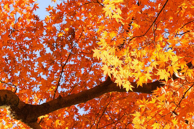鮮やかに黄葉する初秋の風景の写真画像