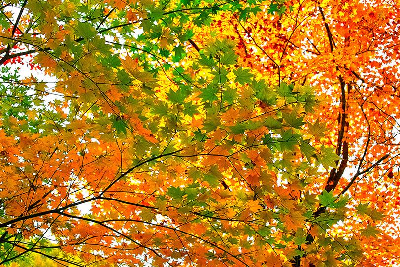 赤黄緑のモミジの葉群れの写真画像