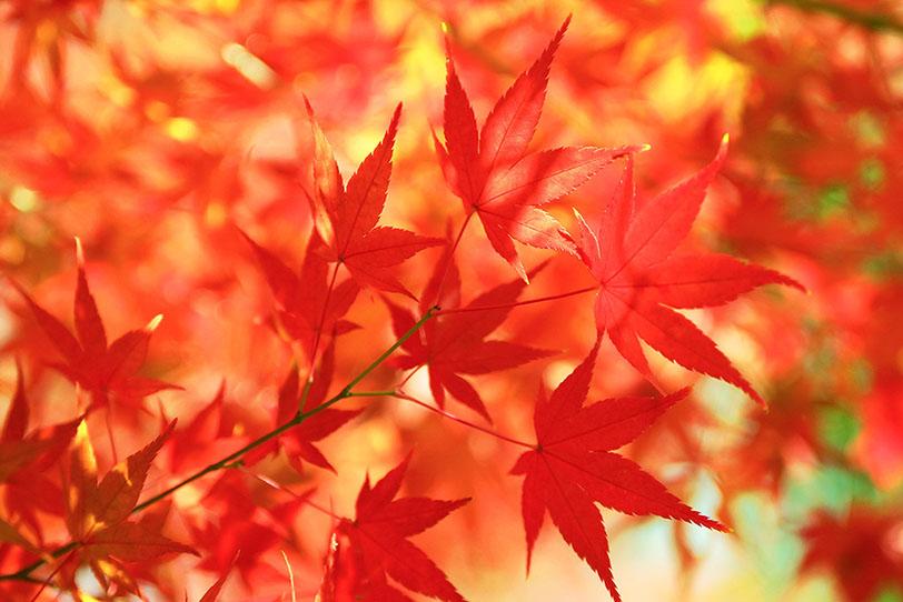 燃えるような真赤な紅葉の写真画像
