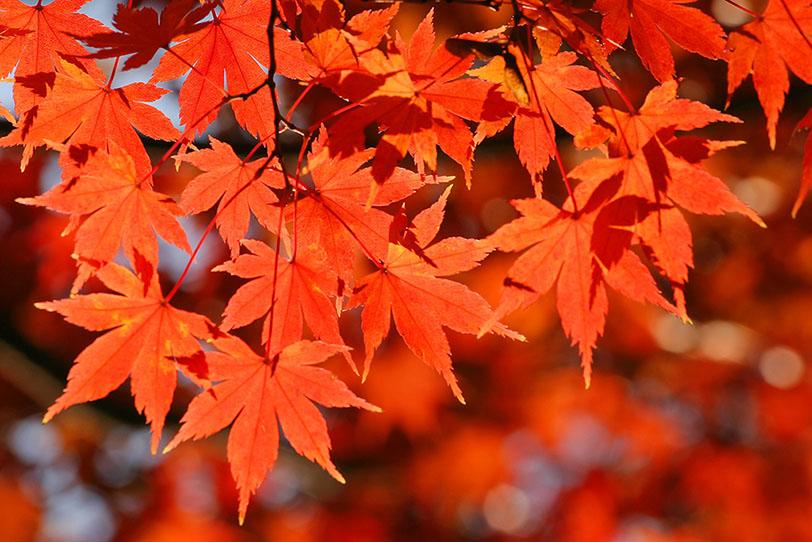 赤く紅葉するイロハモミジの写真画像