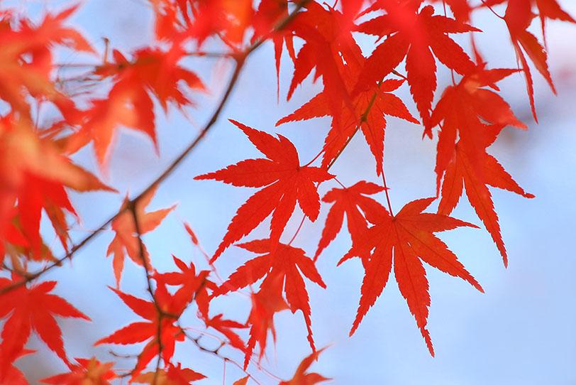 真っ赤なモミジの葉と秋の青空の写真画像