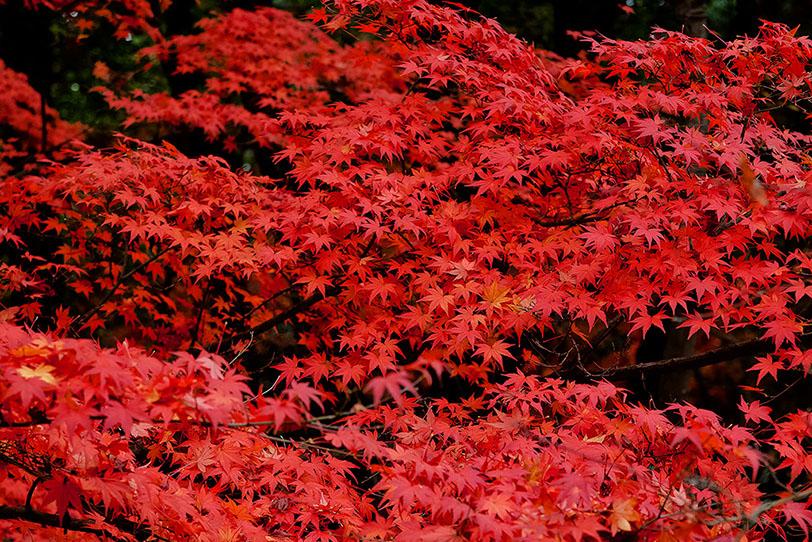 赤と黒の紅葉背景の写真画像