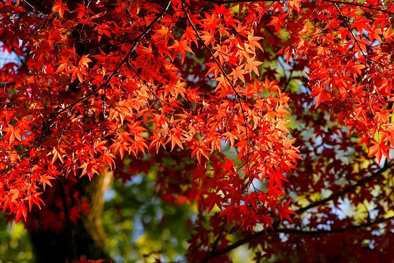 日を浴びる紅葉の木の写真画像