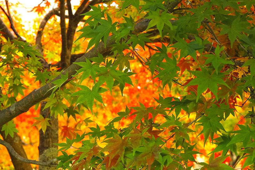 黄葉の中に残る青葉の写真画像