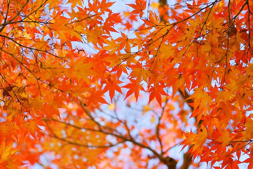 「秋空とオレンジ色のもみじ」の素材を無料ダウンロード