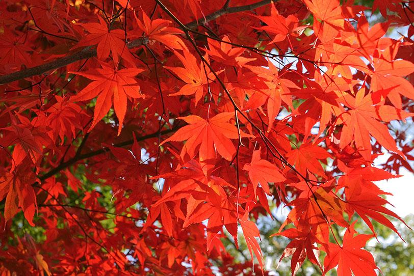 真っ赤に色づく紅葉の写真画像