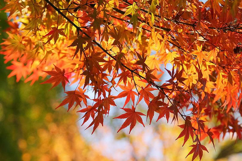 「秋の日光に煌めく紅葉」の素材を無料ダウンロード
